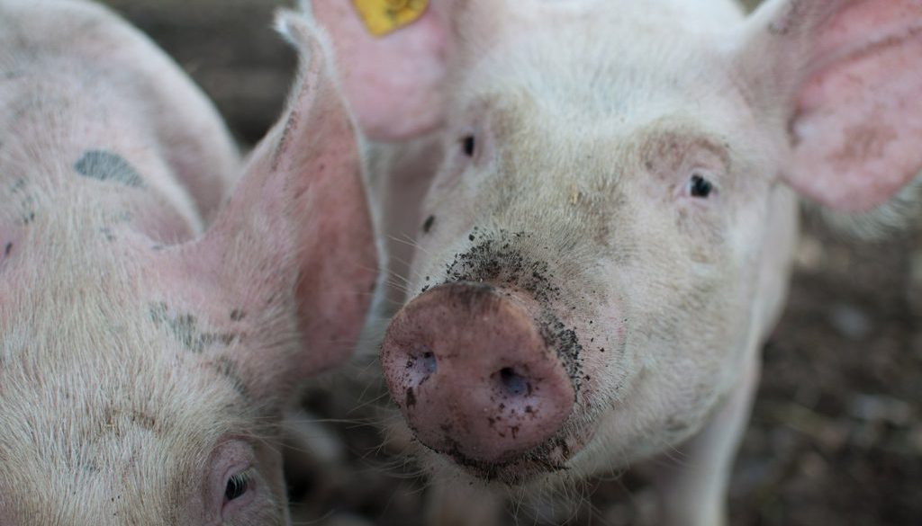 African Swine Fever devastates swine herds across Europe.